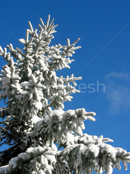Winter fir under snow Stock photo © elenaphoto