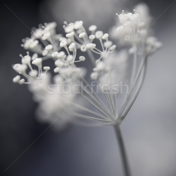 Flowering dill cluster Stock photo © elenaphoto