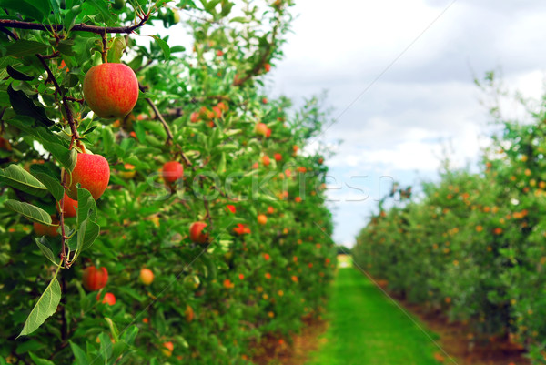 Apple orchard Stock photo © elenaphoto