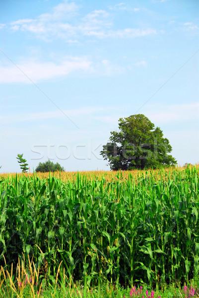 Corn field Stock photo © elenaphoto