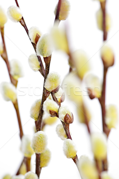 Spring pussy willows Stock photo © elenaphoto