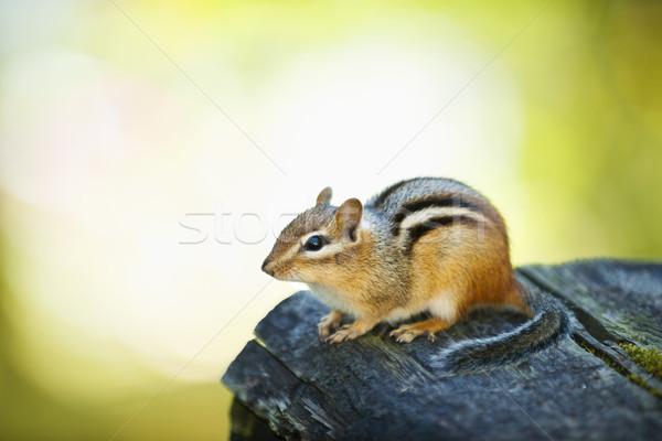 Cute chipmunk on log Stock photo © elenaphoto