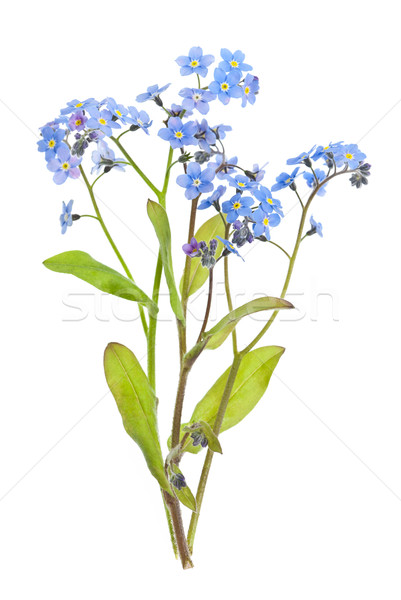 Forget-me-not flowers on white Stock photo © elenaphoto