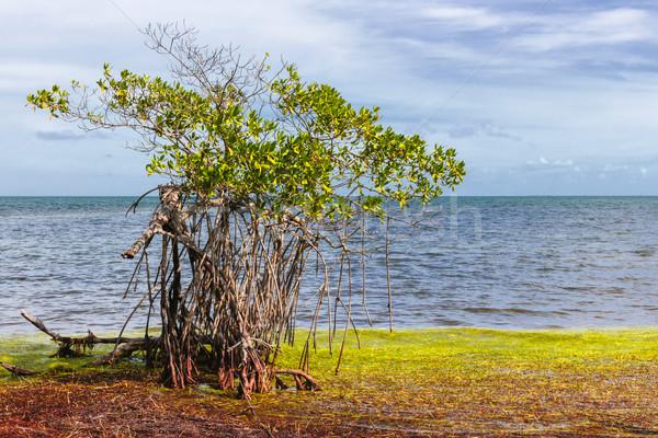 Flórida teclas árvore crescente oceano costa Foto stock © elenaphoto