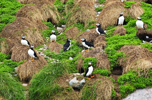 Nowa fundlandia ptaków wyspa Kanada trawy krajobraz Zdjęcia stock © elenaphoto