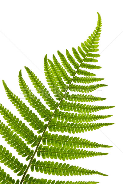 Stock photo: Fern leaf