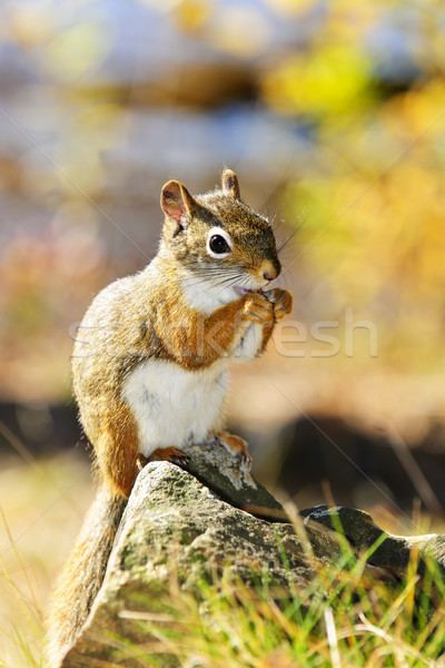 Cute red squirrel eating nut Stock photo © elenaphoto