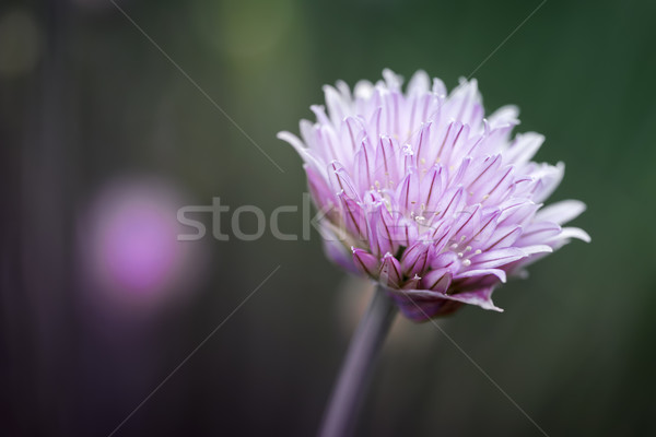 Stock photo: Chives flower macro