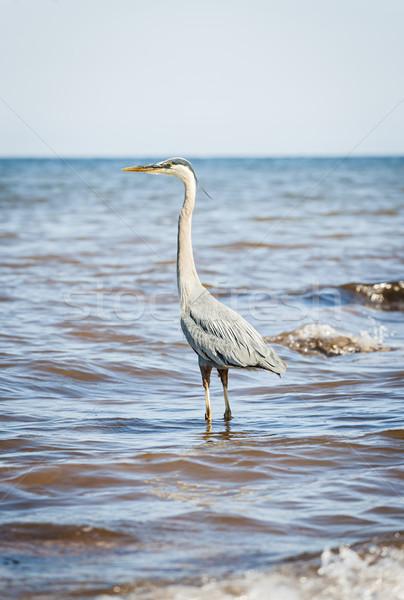 Great Blue Heron standing in ocean Stock photo © elenaphoto