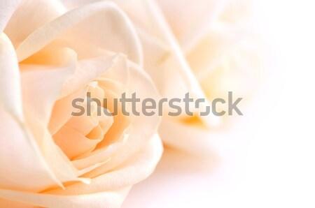 Beige roses Stock photo © elenaphoto
