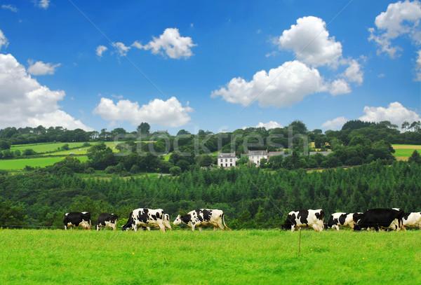Cows in a pasture Stock photo © elenaphoto