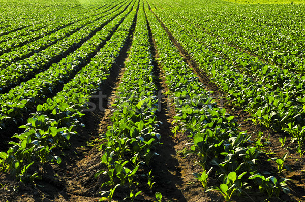 Stock photo: Rows of turnip plants in a field