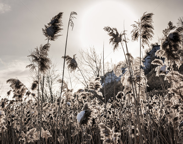 Backlit winter reeds Stock photo © elenaphoto