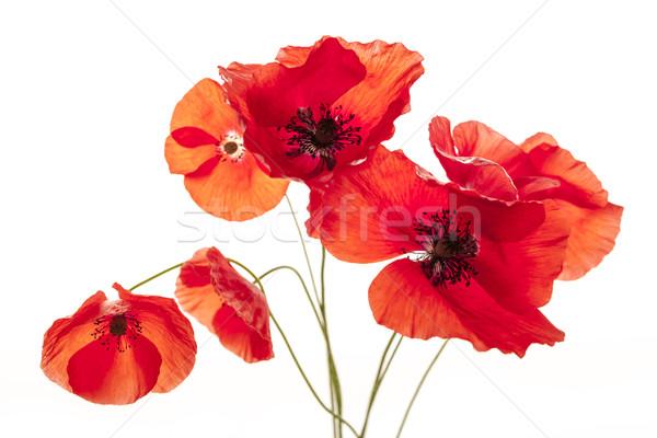 Poppy flowers on white Stock photo © elenaphoto