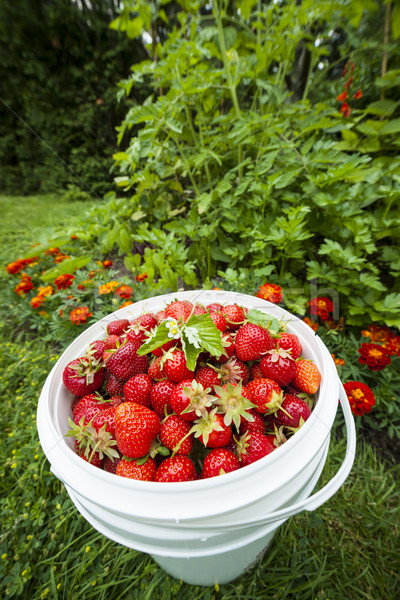 Pail of fresh strawberries in garden Stock photo © elenaphoto