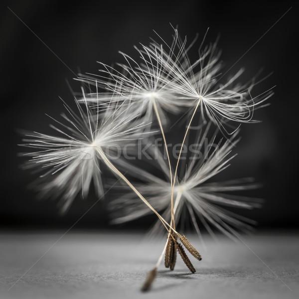 Dandelion seeds standing Stock photo © elenaphoto