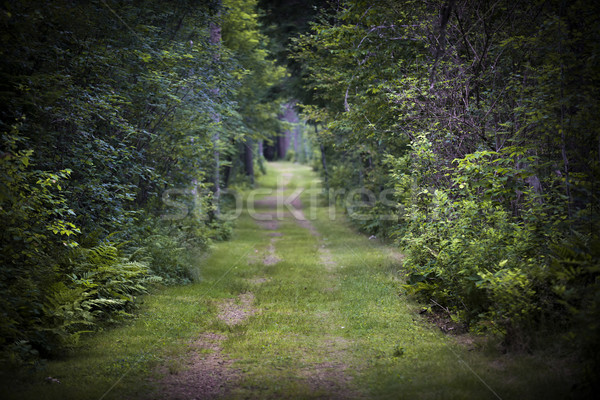 Strada sterrata foresta alberi denso verde poco profondo Foto d'archivio © elenaphoto