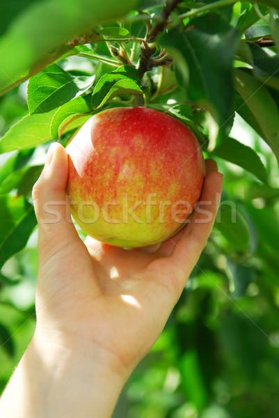 Stock foto: Ernte · Apfel · Hand · roten · Apfel · Apfelbaum