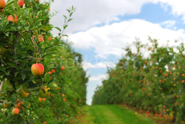Сток-фото: яблоневый · сад · красный · зрелый · яблоки · яблоко · деревья