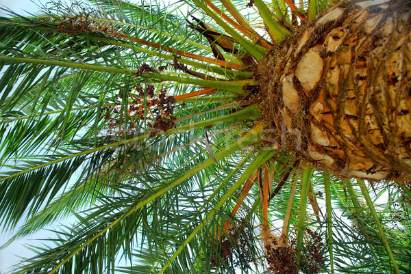 Palm tree canopy Stock photo © elenaphoto