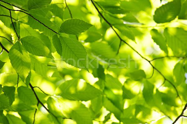 Stok fotoğraf: Yeşil · bahar · yaprakları · ağaç · güneş · doğal