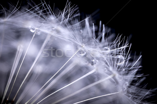 Stock photo: Dandelion seeds macro