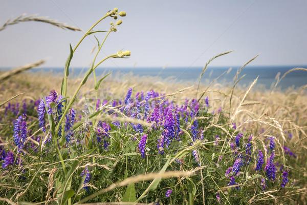 Flores silvestres oceano costa Canadá natureza Foto stock © elenaphoto