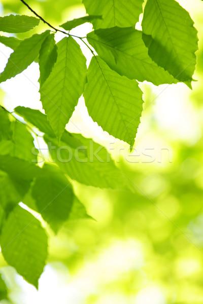 Yeşil bahar yaprakları ağaç temizlemek çevre Stok fotoğraf © elenaphoto