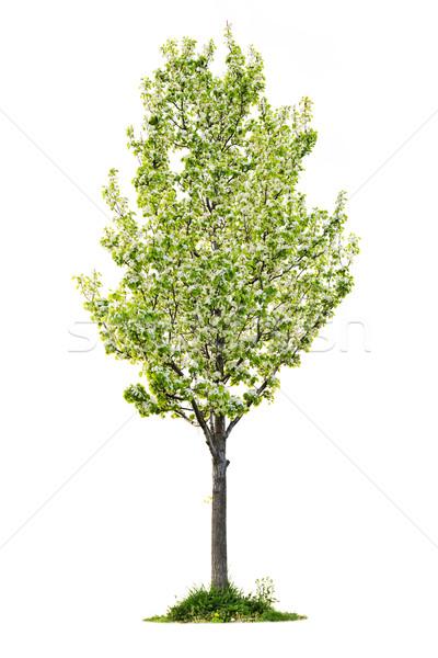 Isolated flowering pear tree Stock photo © elenaphoto