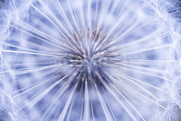 Dandelion sementes completo semente cabeça macro Foto stock © elenaphoto