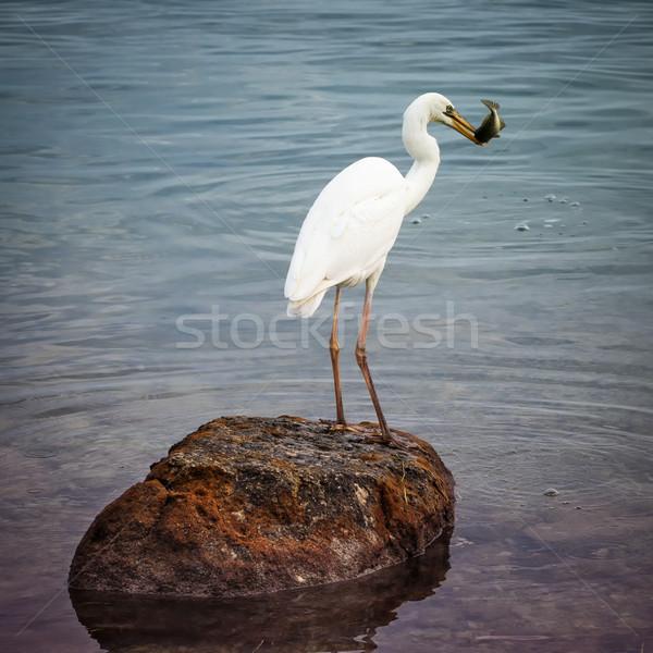 Bianco airone pesce uccello piedi Foto d'archivio © elenaphoto