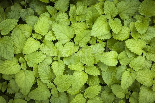 Limão bálsamo folhas verde erva crescente Foto stock © elenaphoto