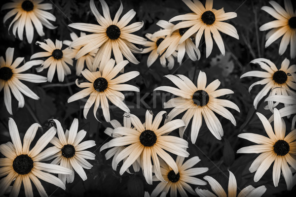 Black Eyed Susan Stock photo © elenaphoto