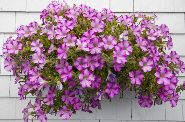 Petunias on white wall Stock photo © elenaphoto