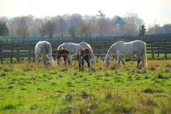 Horses Stock photo © elenaphoto