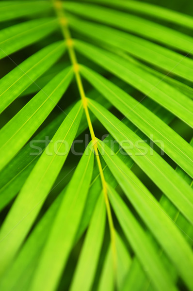Palmera hojas botánico verde resumen Foto stock © elenaphoto