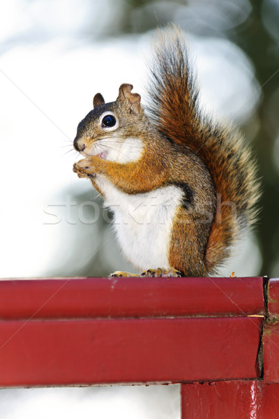 Stock photo: Tree squirrel eating peanut on red railing