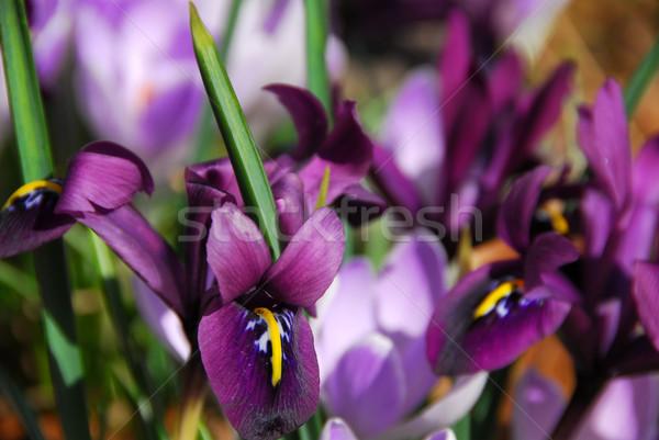 Spring irises Stock photo © elenaphoto