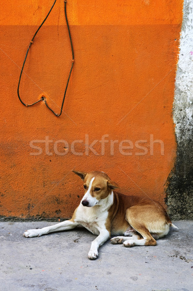 Dog near colorful wall in Mexican village Stock photo © elenaphoto