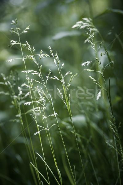 Avond gras bloei zomer groene planten Stockfoto © elenaphoto