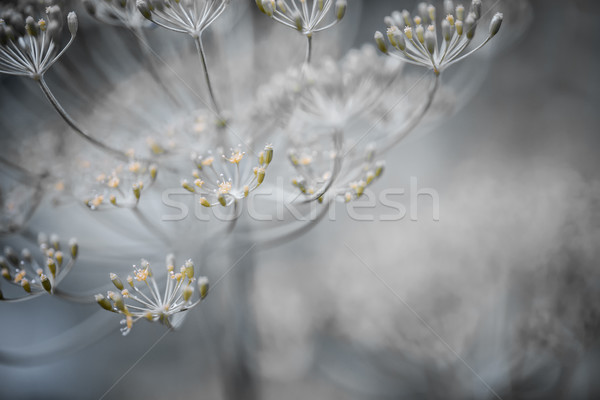 Flowering dill details Stock photo © elenaphoto