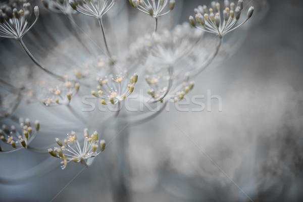 Kwitnienia szczegóły makro herb Zdjęcia stock © elenaphoto