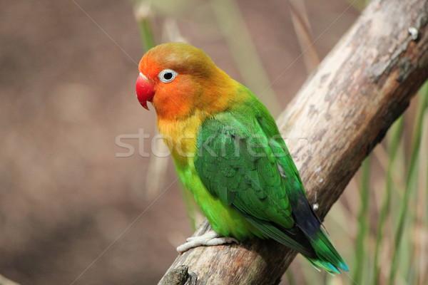 Bird agapornis-fischeri Stock photo © Elenarts