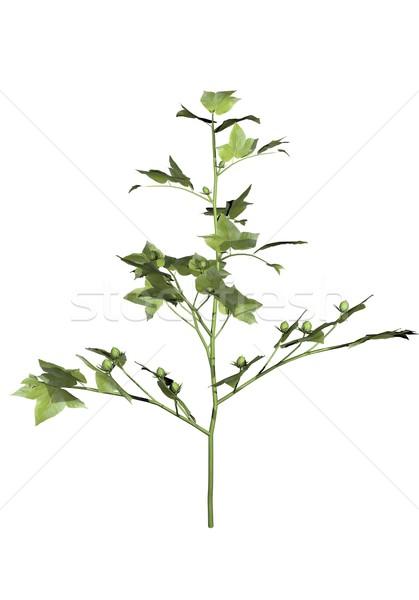 Young cotton plant - 3D render Stock photo © Elenarts