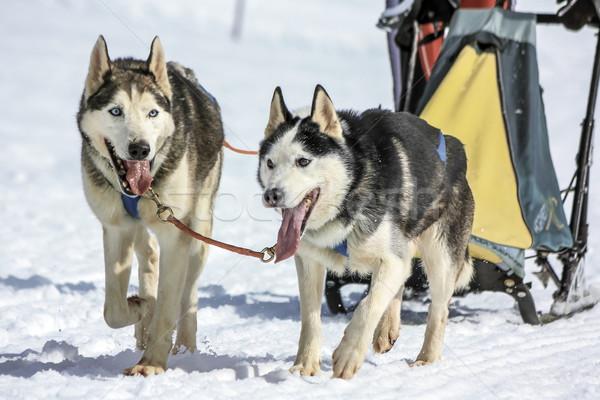 Honden snelheid racing mos Zwitserland twee Stockfoto © Elenarts