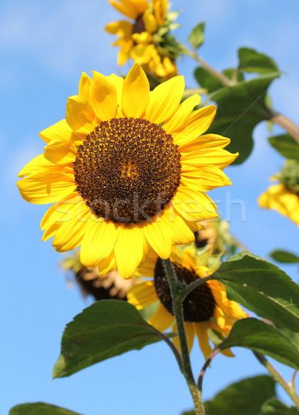 Sunflowers by summer Stock photo © Elenarts