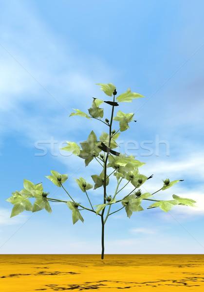 Cotton plant - 3D render Stock photo © Elenarts