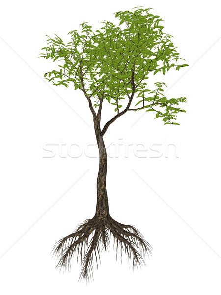 Arrow poison tree, acokanthera venenata - 3D render Stock photo © Elenarts