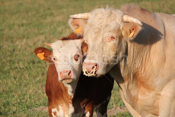 Foto d'archivio: Madre · mucca · insieme · giovani · testa · baby