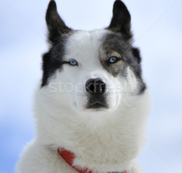 Husky dog portrait Stock photo © Elenarts